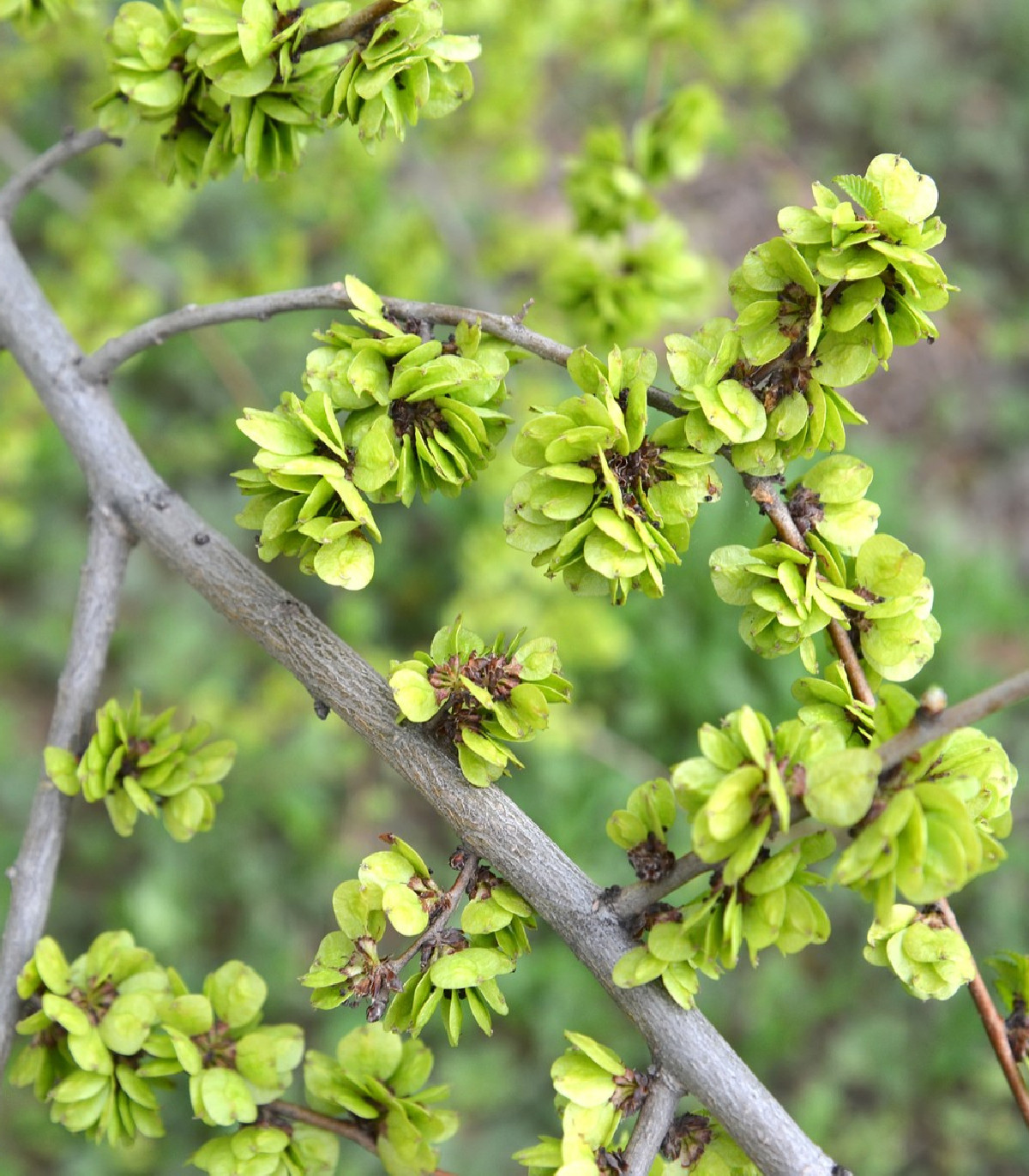 Turkestánský brest- Ulmus pumila- semená- 10 ks