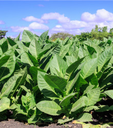 Tabak Madole ŠPECIÁL - rastlina Nicotiana tabacum - semená tabaku - 20 ks