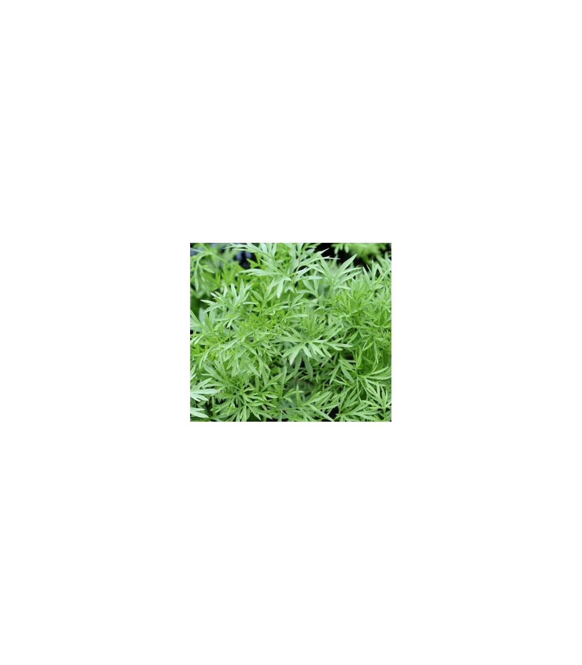 Koriander siaty Confetti - Coriandrum sativum - semená koriandra - 0,9 g