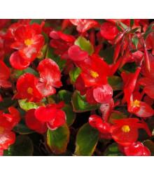 Voskovka Heaven Red F1 - Begonia semperflorens - semená - begónia - 10 ks