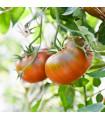 Paradajka Brandywine čierna - predaj semien paradajok - 7 ks