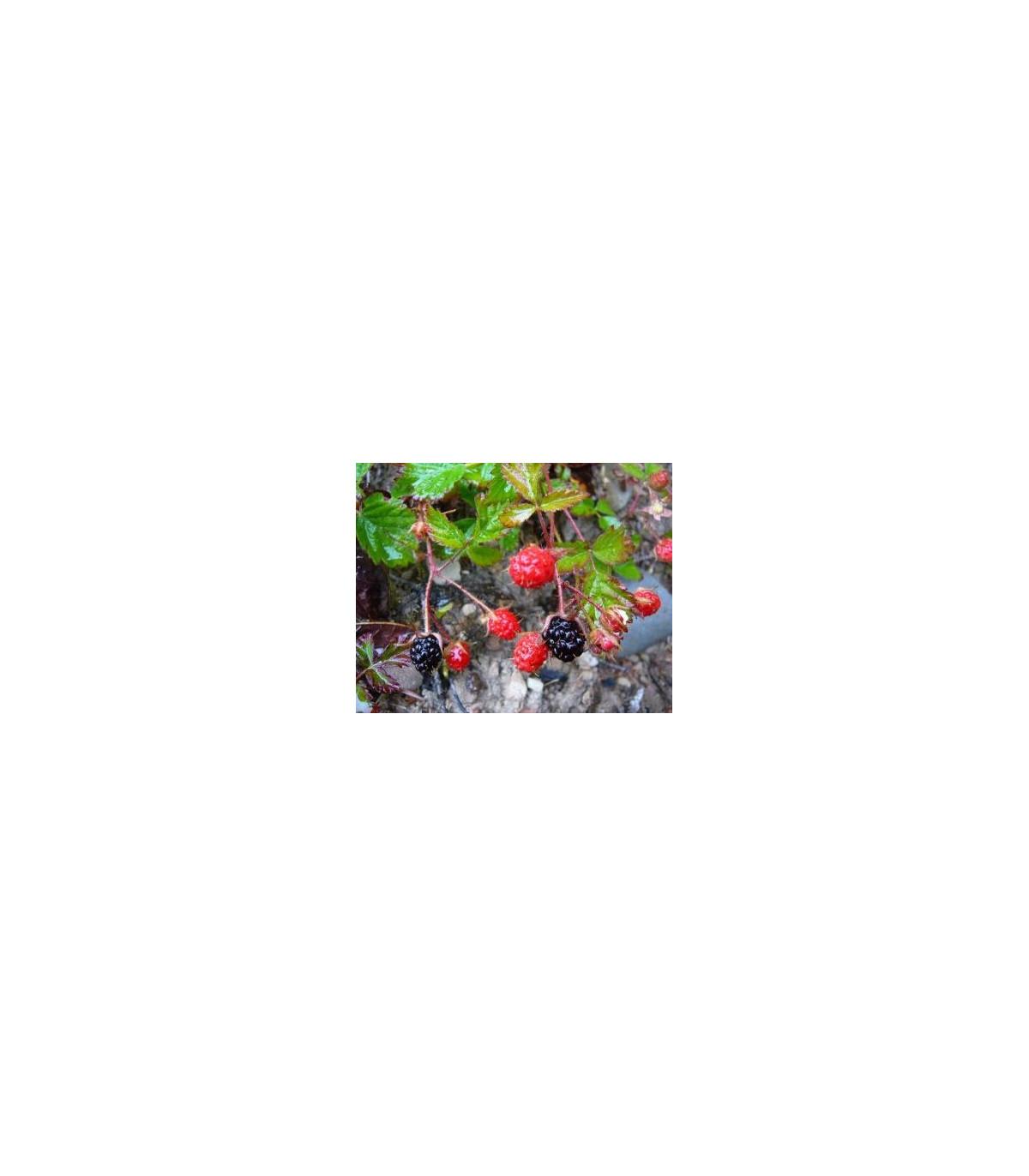 Ostružina - Maliník- semená Ostružiny- 5 ks