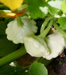 Patizón Custard White - Cucurbita pepo - tekvica - semená - 5 ks