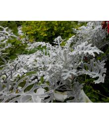 Starček prímorský - Senecio cineraria - semená - 150 ks