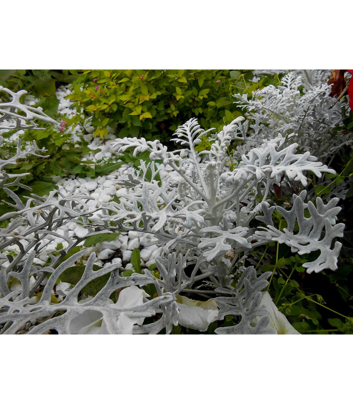 Starček prímorský- Senecio cineraria- semená- 150 ks