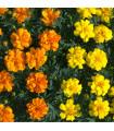 Aksamietnica rozložitá - Tagetes patula - semená- 90 ks