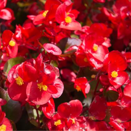 Begónia drobnokvetá červená - Begonia multiflora - cibuľoviny - 2 ks