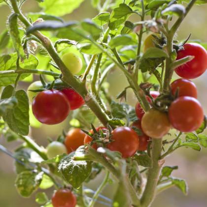 Paradajka Obrie Hrozno Riesentraube - predaj semien paradajok - 7 ks