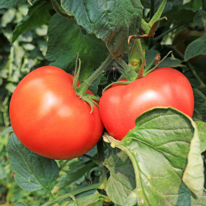 BIO paradajka kolíková Diplom F1 - Lycopersicon esculentum - rajčiak - bio semená rajčiaka - 8 ks