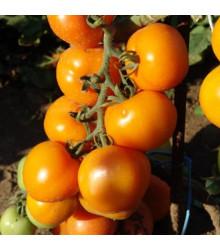 Paradajka kolíková Zlatava - Lycopersicon Esculentum - rajčiak - semená - 15 ks