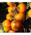 Paradajka Zlatava kolíková - Lycopersicon Esculentum - semená rajčiaka - 15 ks