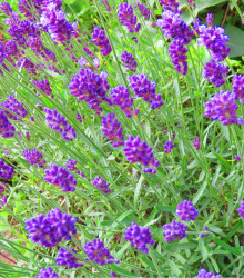 Levanduľa lekárska fialová - Ellegance purple - Lavandula angustifolia - semená - 15 ks
