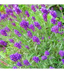 More about Levanduľa lekárska fialová - Ellegance purple - Lavandula angustifolia - semená - 15 ks
