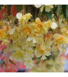 Begónia plnokvetá červená - Begonia multiflora maxima - cibule begónie - cibuľky - 2 ks