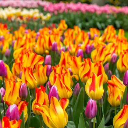 Tulipán Giuseppe Verdi - holandské tulipány  - cibuľky tulipánov - 3 ks