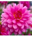 Geprgína Rosella - Dahlie - cibuľoviny - 1 ks