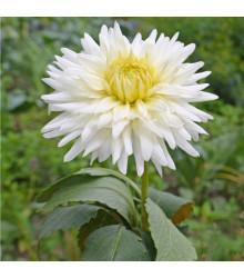 Georgína White Star - Dahlia - cibuľoviny - 1 ks