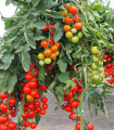 Paradajka Gallant F1 - kolíková paradajka - Solanum lycopersicum - 10 ks