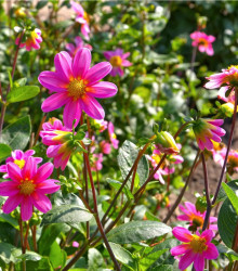 Georgína Topmix - ružová - Dahlia - cibuľoviny - 1 ks
