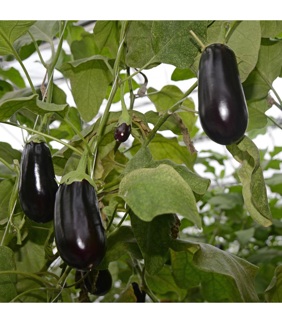 Baklažán vajcoplodý Black Beauty - Solanum melongena - semená - 60 ks