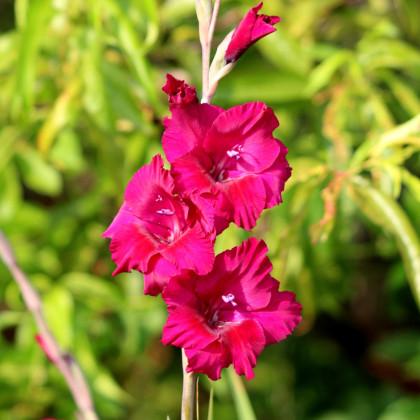 Mečík purpurový - Gladiolus Plum Tart - gladioly - cibuľoviny - 3 ks