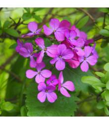 Mesačnica ročná Honesty - zmes farieb - Lunaria annua - semená - 1 g