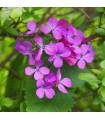 Mesačnica ročná - Lunaria annua - predaj semienok dvojročných - 1 gr