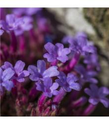 Železník lekársky - Verbena officinalis - semená - 200 ks