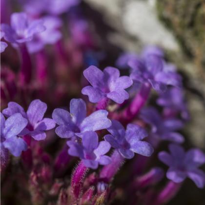 Verbena - Železník lekársky - rastlina Verbena officinalis - predaj semien - 0,1 g