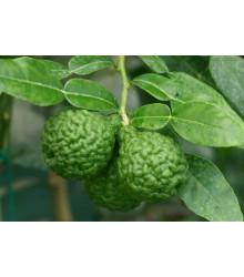 Gáfrová limetka - Citrus hystrix - 3 ks
