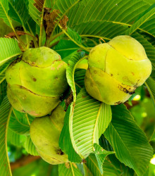 Dilenia indická - Dillenia indica - semená - 6 ks