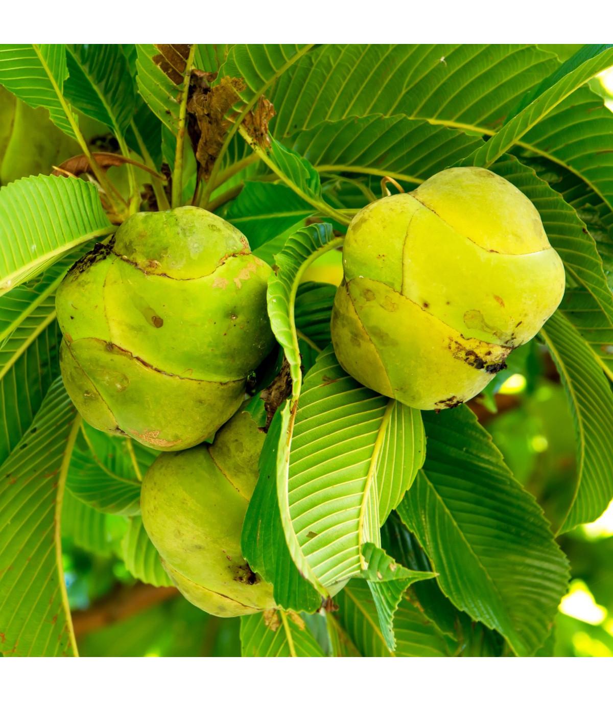 Dilenia indická - predaj semien - 6 ks