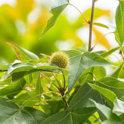 Ambrovník západný - Liquidambar formosana - predaj semien - 10 ks