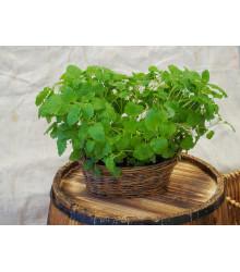 Medovka - Melissa officinalis - semená - 0,4 g