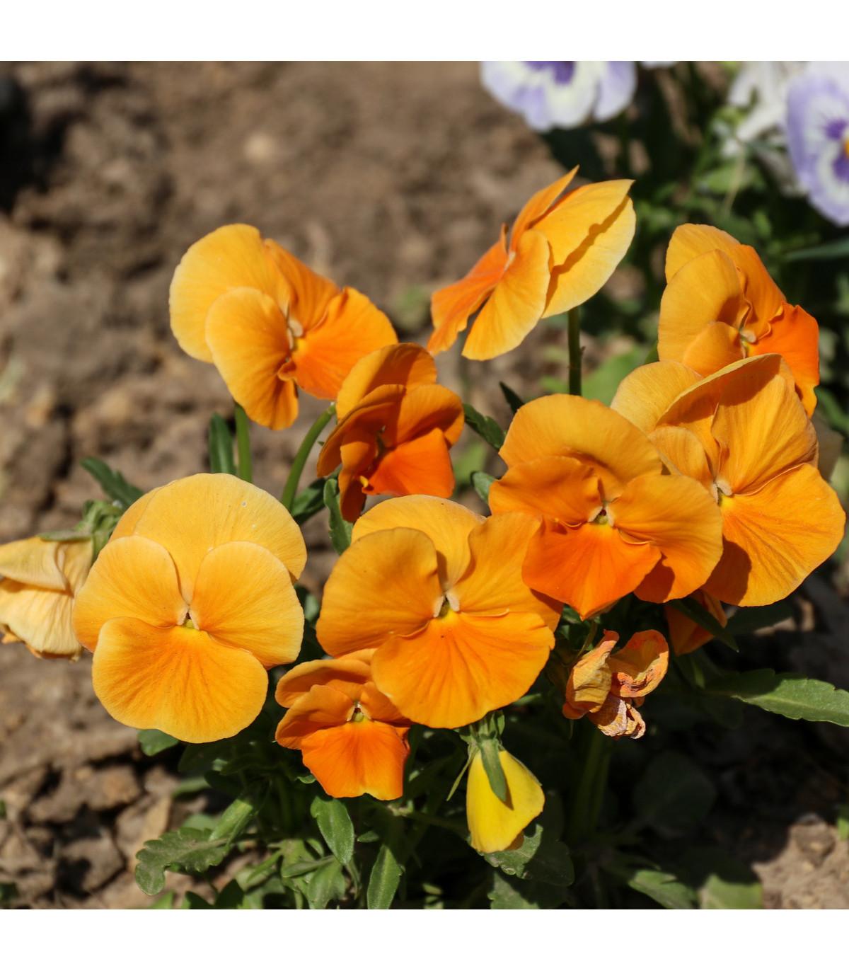 Sirôtka oranžová švajčiarska Schweiter Riesen - Viola wittrockiana - semená sirôtky - semiačka - 0,3 gr