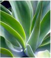 Agáva-Agave bracteosa-semená Agáve-10 ks