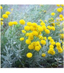 Santolina cypruštekovitá - Santolina chamaecyparissus - semená - 5 ks