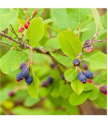 Hrozienkový strom - Amelanchier alnifolia - semená - semiačka - 7 ks