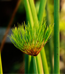Papyrus - Cyperus papyrus - semená papyrusu - semiačka - 8 ks