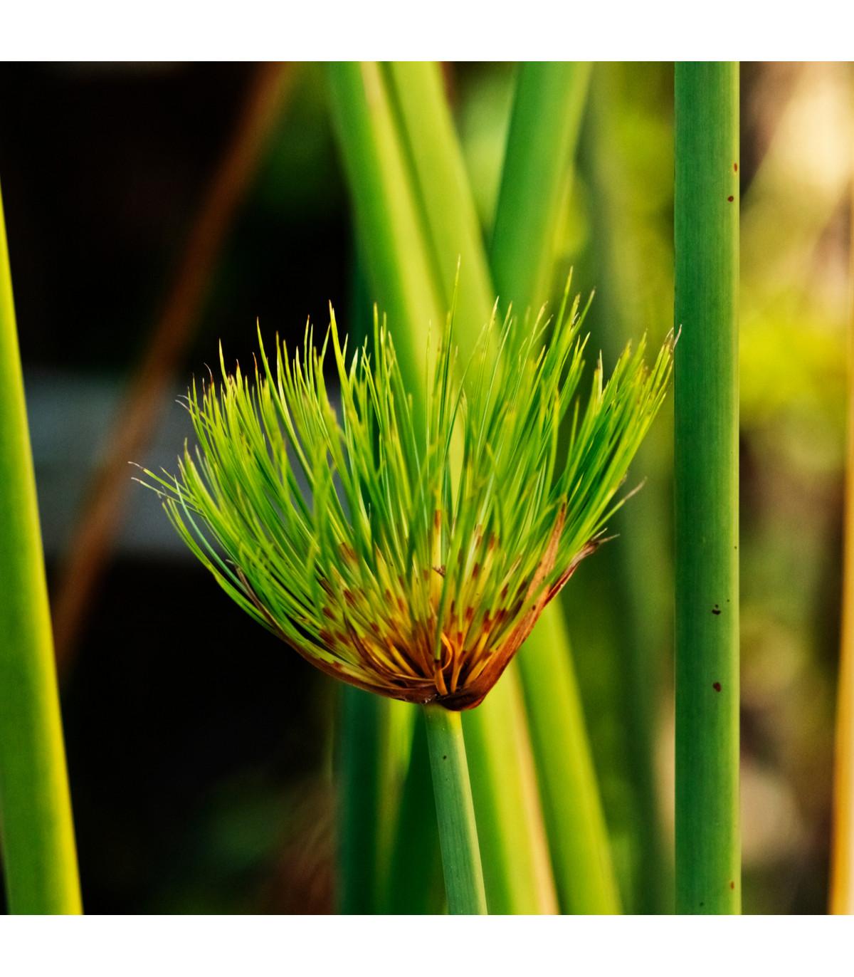 Šachor papyrusový - Cyperus papyrus - semená papyrusu - 8 ks