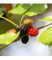 Ostružina nutkajská- Rubus Parviflorus- semená ostruž- 5ksny-