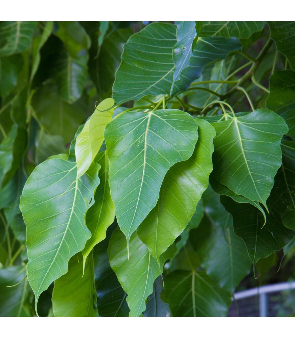 Figovník posvätný - Ficus religiosa - predaj semien - 5 ks