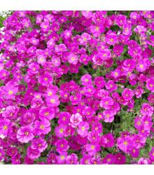 Tarička záhradná červená - Aubrieta hybrida - semená - 200 ks