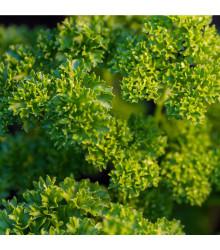 Petržlen vňaťový - Petroselinum crispum conva - semená petržlenu - semiačka - 1 gr