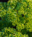 Petržlen vňaťový- Petroselinum crispum conva- semená- 1300 ks