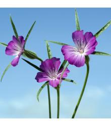 Kúkoľ poľný - Agrostemma Githago - semená - 50 ks
