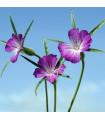 Kúkoľ poľný - Agrostemma Githago - semená - 0,5 g