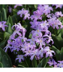 Modravka fialová - Chionodoxa Luciliae - cibuľoviny - 5 ks