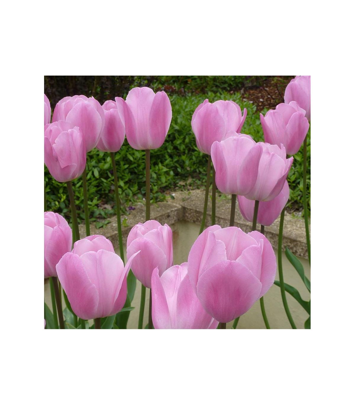 Tulipán Pink Diamond - cibule tulipánov - predaj cibuľovín - 3 ks