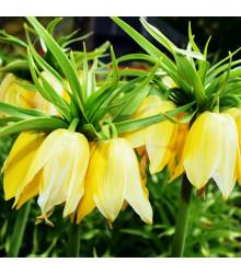 Korunkovka kráľovská Lutea - Fritillaria Imperialis Lutea Maxima - cibuľoviny - 1 ks